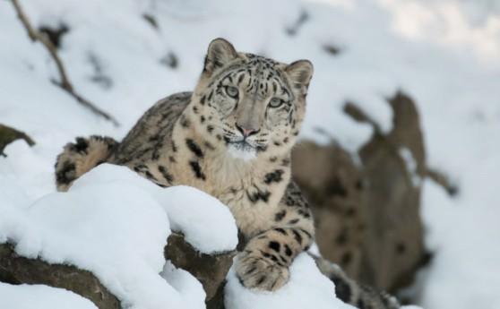 microsoft_ia_leopardo-de-las-nieves.jpg
